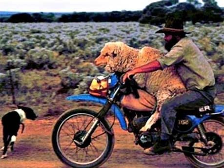 Schaf auf Motorrad