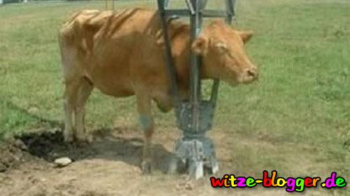 Versager-Kuh